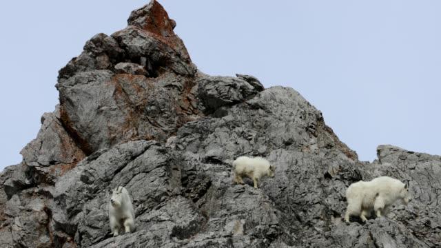 ws  4k winter shot of a family of mountain goats (oreamnos americanus) climbing on a mountain peak - three animals stock videos & royalty-free footage