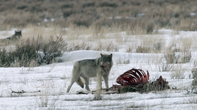 MS 4K winter shot of a gray wolf (Canis lupus) on a elk carcass