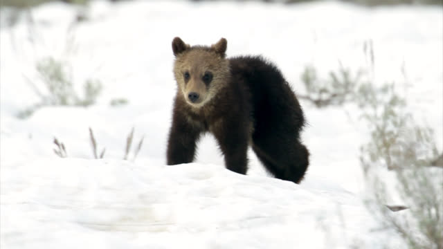 ms  4k winter shot of a grizzly bear cub (ursus arctos) walking toward the camera in the fresh snow - wyoming stock videos & royalty-free footage