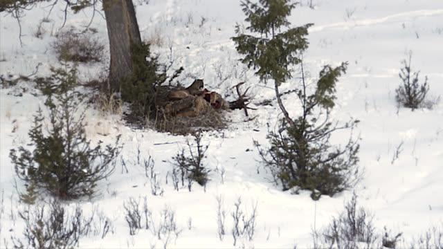 vídeos y material grabado en eventos de stock de ws 4k winter shot of a mountain lion (puma,panther,catamount) on a bull elk carcass - puma