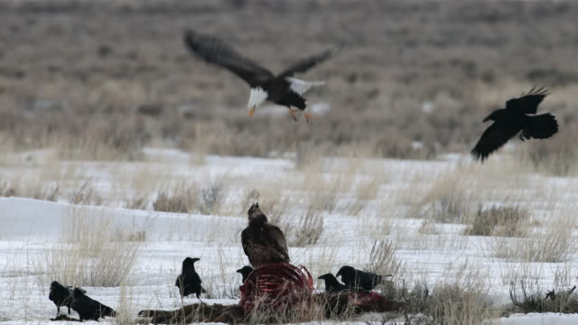 ms 4k winter shot of bald and golden eagles on a elk carcass - animal skeleton stock videos & royalty-free footage