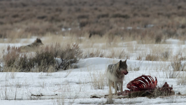 MS 4K winter shot of gray wolves (Canis lupus) on a elk carcass