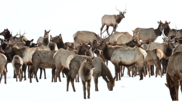 WS 4K winter shot of massive bull elk and cows (Cervus canadensis) grouped up in the freezing cold and fresh snow