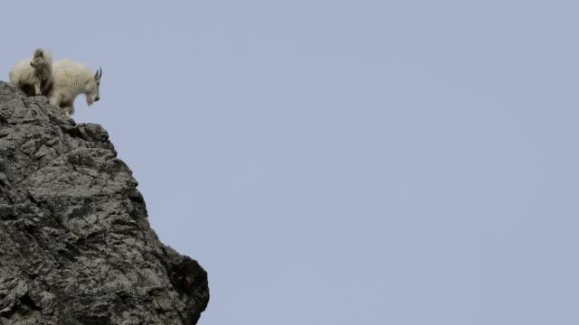 ws  4k winter shot of  mountain goats (oreamnos americanus) standing on a rocky precipice - ヤギ点の映像素材/bロール