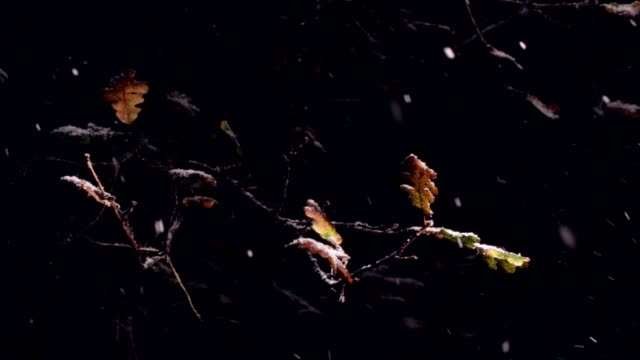 winter snow falling on fall leaves of burr oak tree - woodland stock videos & royalty-free footage