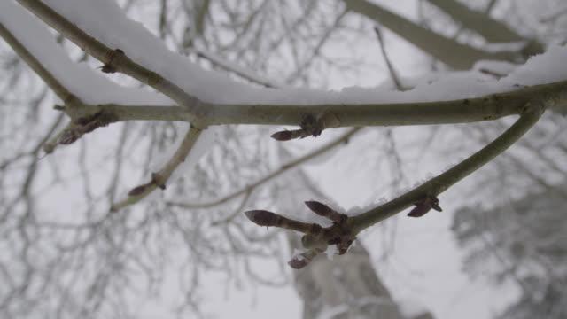 vidéos et rushes de winter snow falls onto bare tree branch in churchyard, oxfordshire, england - bare tree