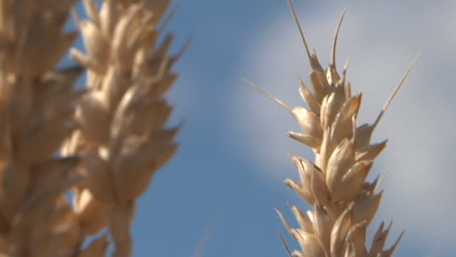 cu zo winter wheat swaying in breeze before being harvested  / dansville, michigan, united states - weizen stock-videos und b-roll-filmmaterial