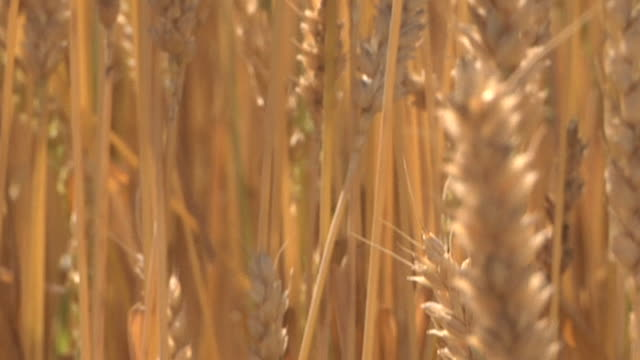cu tu winter wheat swaying in breeze before being harvested  / dansville, michigan, united states - weizen stock-videos und b-roll-filmmaterial