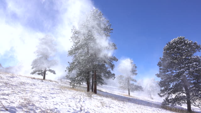 Winter winds blow snow pine trees Elk Meadows Evergreen Colorado