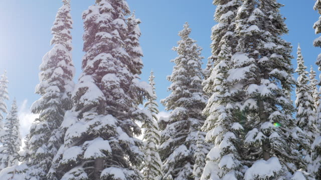 winter with pine forest and blue sky - pokljuka stock videos and b-roll footage