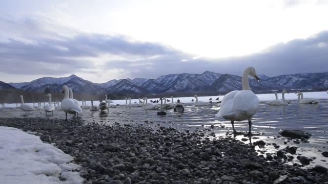 wintering whooper swans in lake kussharo, hokkaido, japan - migrating stock videos & royalty-free footage
