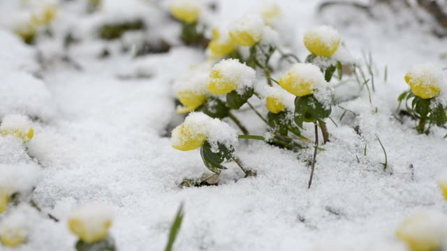 winter cherry im schnee - ranunkel stock-videos und b-roll-filmmaterial