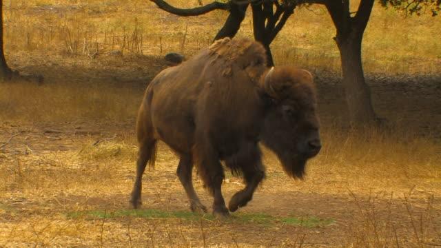 wisent (bison bonasus) - アメリカバイソン点の映像素材/bロール