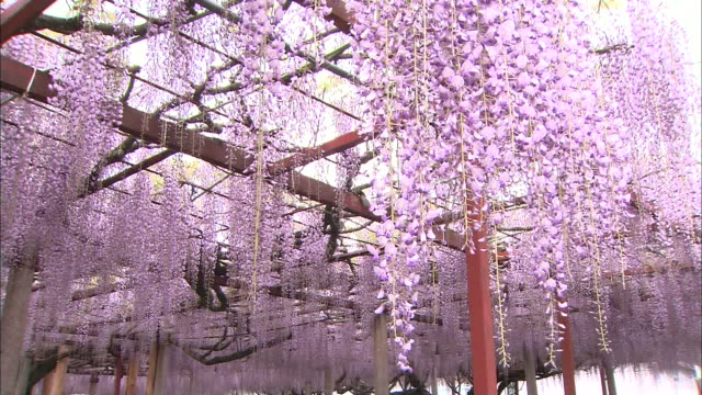 wisteria flowers sway in the breeze at a shrine in hyogo, japan. - shiso stock videos & royalty-free footage