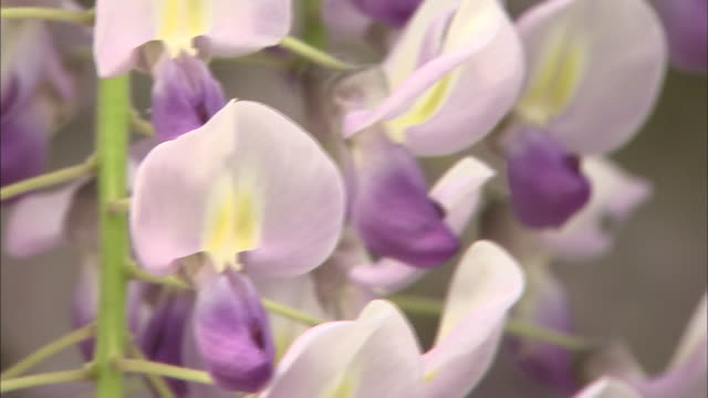wisteria flowers sway in the breeze in hyogo, japan. - shiso stock videos & royalty-free footage