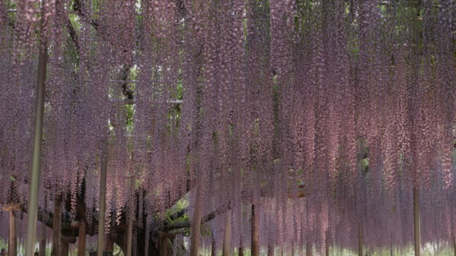 wisteria in ashikaga flower park, low angle - 春点の映像素材/bロール