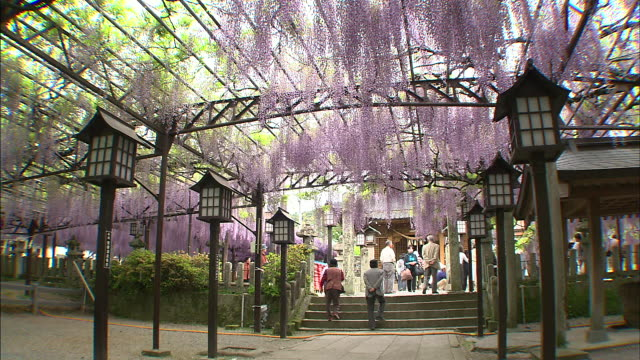 a wisteria trellis shows its beauty in japan's susanoo jinja precincts. - fukuoka prefecture stock videos & royalty-free footage
