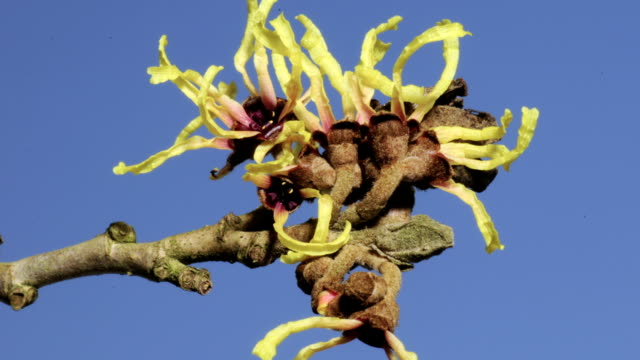 witch hazel, timelapse - flowering plant stock videos & royalty-free footage