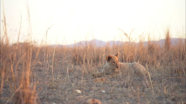 pan with 2 african lion cubs play fighting in evening light - lion cub stock videos & royalty-free footage