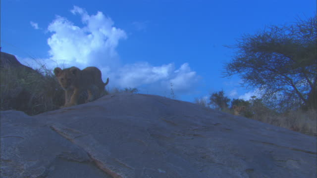 pan with 2 african lion cubs playing on rock outcrop - outcrop stock videos & royalty-free footage