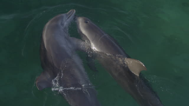 vidéos et rushes de cu pan with 2 bottlenosed dolphins cuddling on surface then breathe and swim away in shallows - grand dauphin