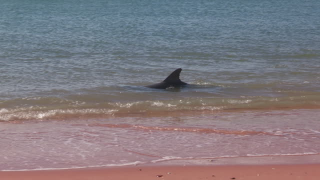 pan with 2 bottlenosed dolphins hunting fish in shallow sea then hydroplaning - shark bay stock videos & royalty-free footage