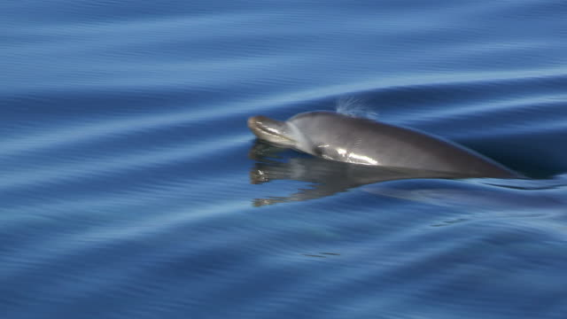 vidéos et rushes de pan with 2 bottlenosed dolphins surfacing to breathe in flat calm water - grand dauphin