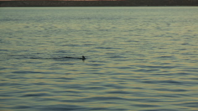 PAN with 2 Bottlenosed Dolphins with brown sponge on their beak as they surface to breathe in evening light