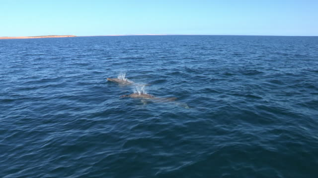 HA PAN with 2 Bottlenosed Dolphins with sponge on their beaks swim underwater ZI to MS dolphin as it surfaces