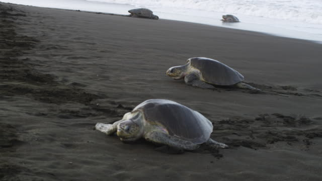 MS PAN with 2 female Olive Ridley turtles crawling up beach onto rough sand