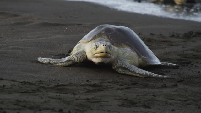 MS PAN with 2 female Olive Ridley turtles crawling up beach with waves breaking over them