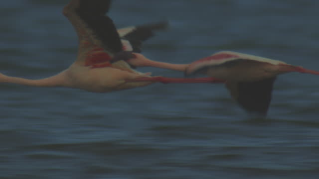 cu pan with 2 lesser flamingoes flying in profile low over lake bogoria  - vier tiere stock-videos und b-roll-filmmaterial