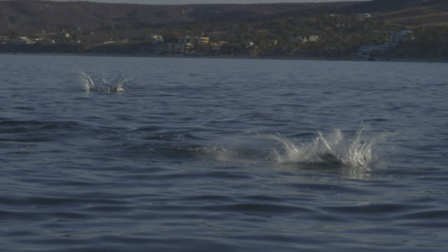 vidéos et rushes de pan with 2 mobula rays leaping from water in profile with shoreline in background - péninsule de basse californie