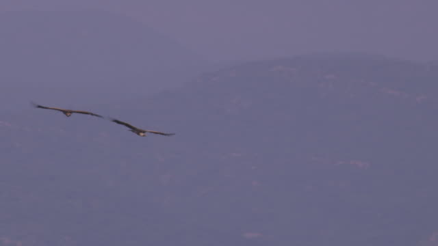 la pan with 2 ruppells vultures gliding in circle - gliding stock videos and b-roll footage