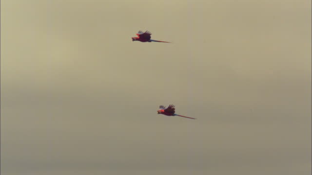 slomo ws pan with 2 scarlet macaws flying with cloudy sky - macaw stock videos & royalty-free footage