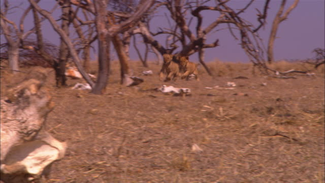 PAN with 2 very young African lion cubs running across dry grassland through dead trees and skulls