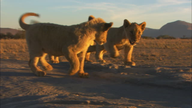 vidéos et rushes de pan with 3 african lion cubs play fighting in sunset - trois animaux