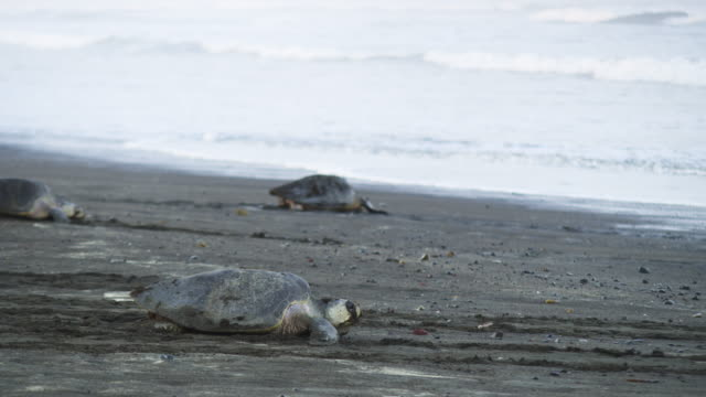 PAN with 3 female Olive Ridley turtles crawling down beach in profile