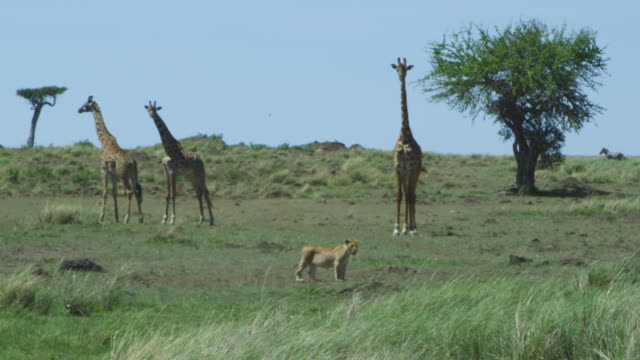 WS with 3 Masai Giraffe standing with African lioness in foreground