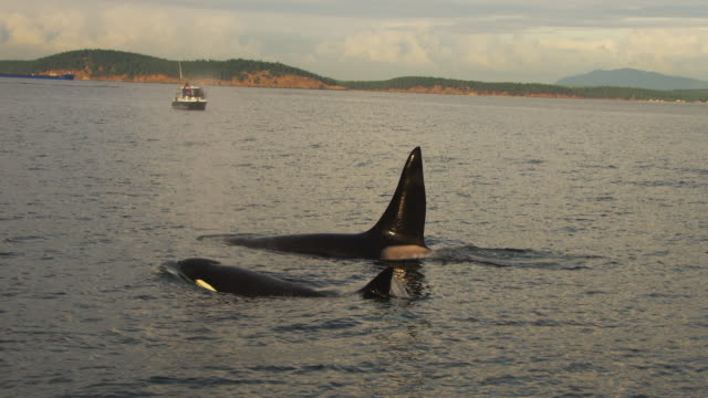 CU PAN with 3 Orcas surfacing to breathe with whalewatching boat in the background