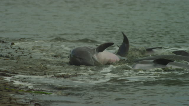 slomo tu with 4 bottlenosed dolphins forcing fish to strand on mudbank and eating them then sliding back into water - bottle nosed dolphin stock videos & royalty-free footage