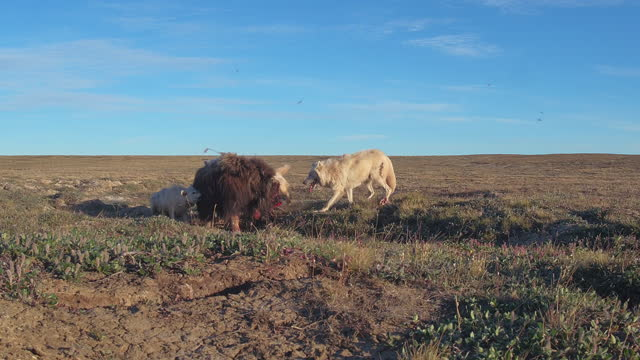 pan with 5 arctic wolves attacking injured musk ox which fights back - medium group of animals stock videos & royalty-free footage