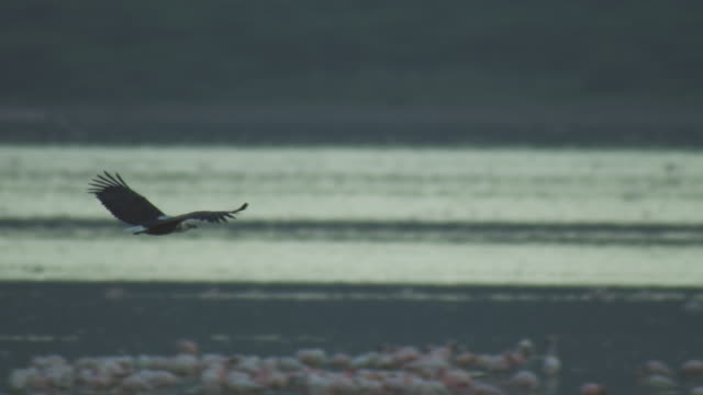 PAN with African Fish Eagle as it flies in profile with steam in foreground then lands on shoreline by Marabou stork