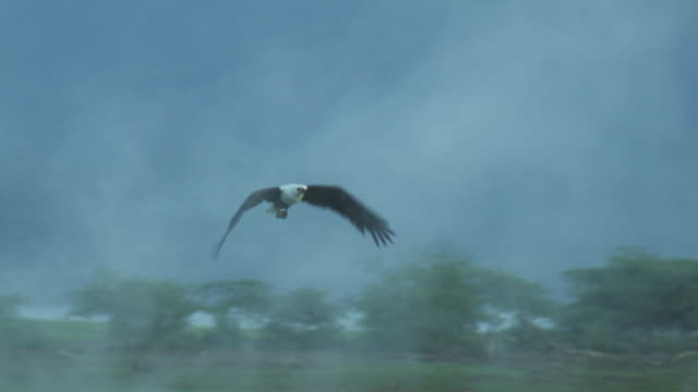 PAN with African Fish Eagle as it flies towards camera through steam