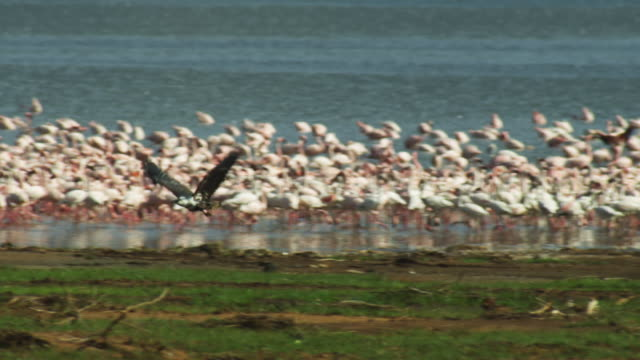 pan with african fish eagle flying across shore and landing with massed flamingoes on lake bogoria in background - african fish eagle stock videos & royalty-free footage