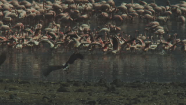 slomo pan with african fish eagle flying from camera and landing near flamingo flock who run away in heat haze - african fish eagle stock videos & royalty-free footage