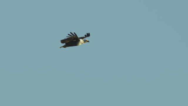 pan with african fish eagle flying in profile against clear sky and looking around - 翼を広げる点の映像素材/bロール