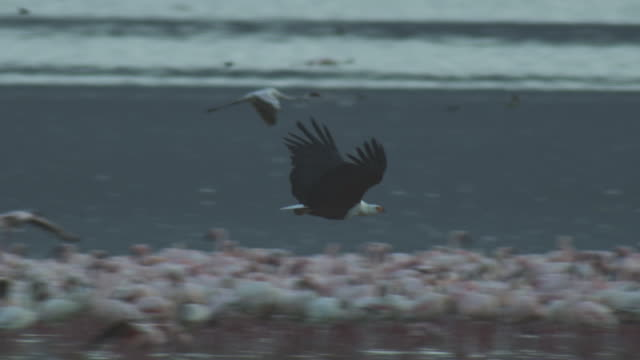 SLOMO PAN with African Fish Eagle flying in profile over Flamingo flocks then attacking Marabou stork on flamingo carcase