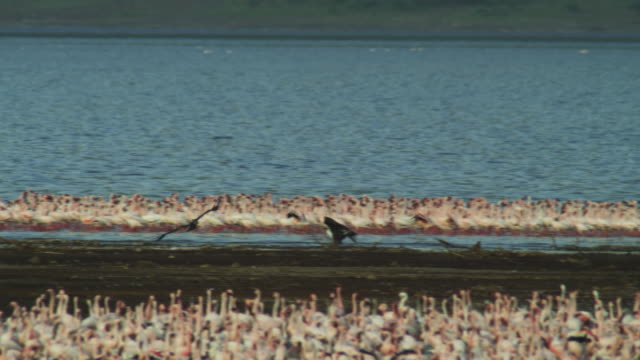pan with african fish eagle flying in to displace another from its perch in the middle of flamingo flock - perch fish stock videos and b-roll footage