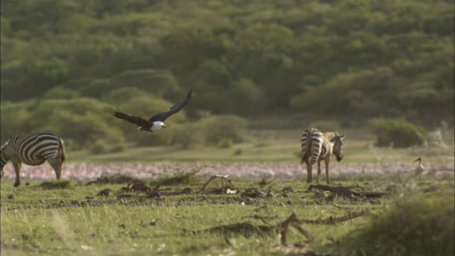 SLOMO PAN with African Fish Eagle flying low over grass with Zebra in background